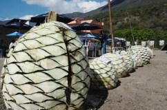 CHILPANCINGO, GUERRERO, 07DICIEMBRE2013.- En el municipio Amojileca se festejó el día de los magueyeros, con una exposición de las piñas más grandes de los magueyes y de mezcal que disfrutaron los visitantes. También se realizó una rifa equipos de trabajo entre los 175 productores. La presidenta de la Red de productores maguey - mezcal del Estado de Guerrero dijo que ya enviaron el decreto a la 60 legislatura para su aprobación para que el día 7 de diciembre quede establecido como el día del Magueyero. FOTO: JOSÉ I. HERNÁNDEZ /CUARTOSCURO.COM